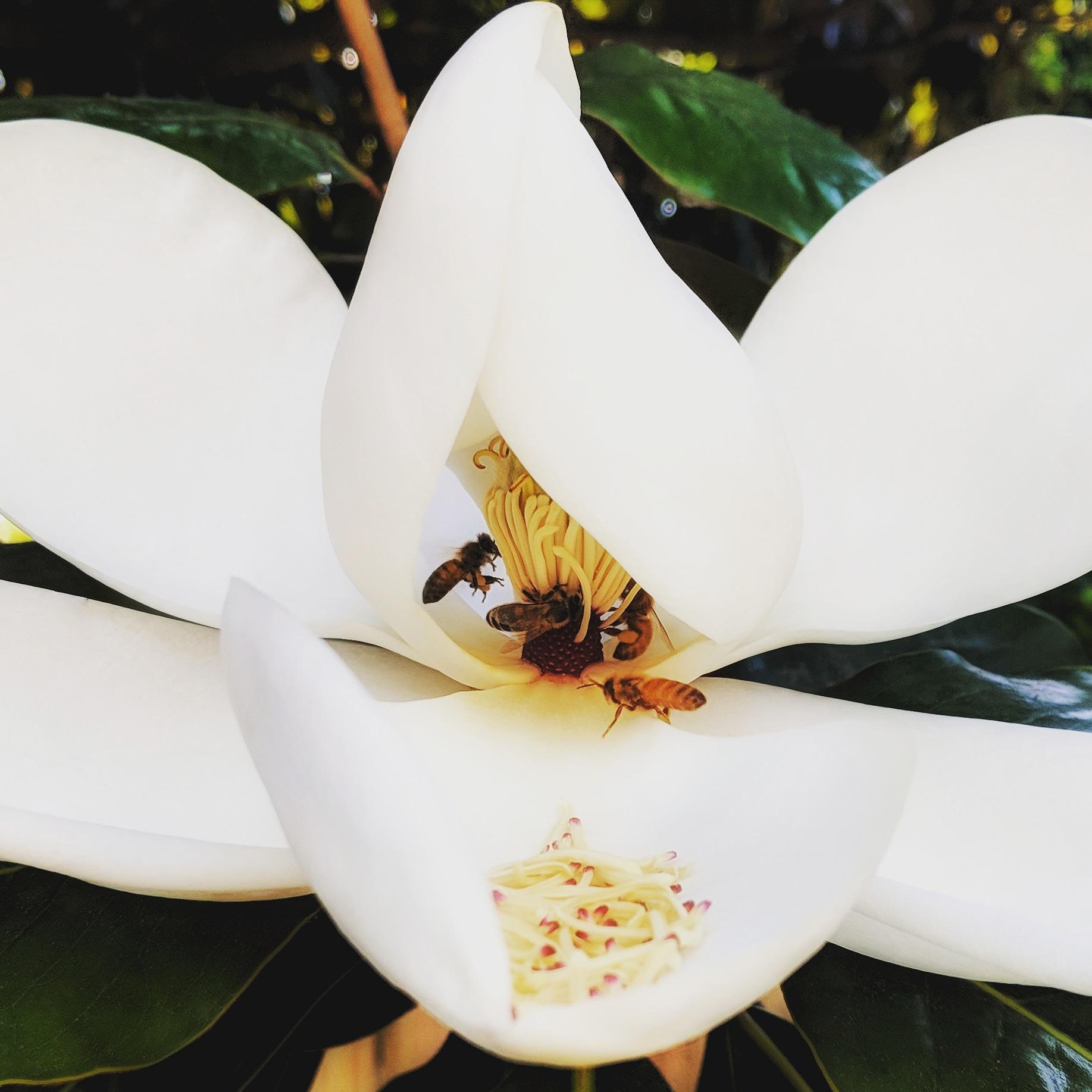 ©Terri-Nakamura_Magnolia-bees-IG-20180731_223407_789