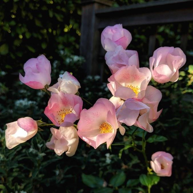 ©Terri-Nakamura_Wild-roses-IG-20180713_221643_086